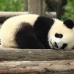 トロント動物園のパンダ